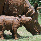 Ein seltenes Rhinozeros