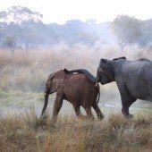 Wilderer töteten 2013 über 20.000 Elefanten