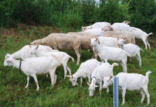 Die ÖBB setzen Ziegen und Schafe gegen Unkraut ein.  Foto: APA