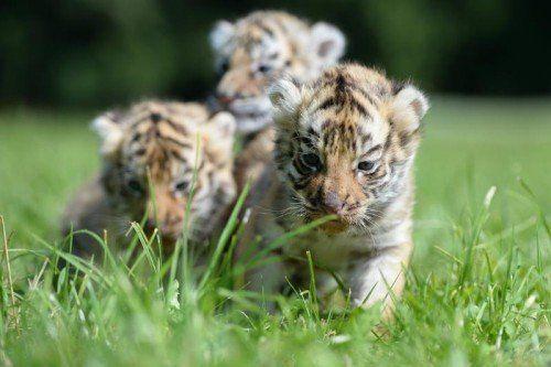 Drei bengalische Tiger-Babys sitzen am 18.06.2014 auf dem Aussiedlerhof Weiherhaus bei Ochenhausen (Baden-Württemberg) auf einer Wiese. Die drei Tiger-Babys kamen am 08.05.2014 auf die Welt. Foto: Felix Kästle/dpa +++(c) dpa - Bildfunk+++