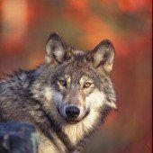Die halbe Stunde mit dem Wolf