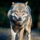 Lecher Jäger erlebt den Wolf aus nächster Nähe.