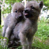 Unzertrennliche Wolfswelpen