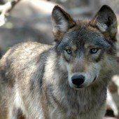 Ein Wolf hält Lech in Atem