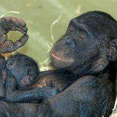 Nachwuchs bei den Zwergschimpansen