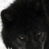 Wölfe reißen vier Herdentiere