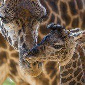 Giraffenzuwachs in San Diego