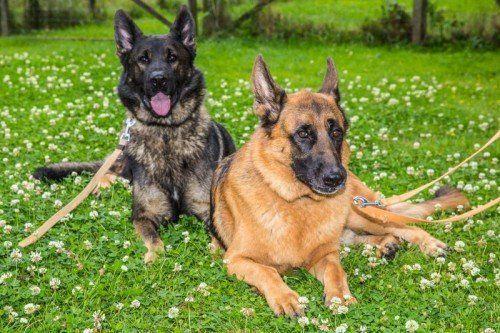 """Vorarlberger Tierschutzheim, Bosco und Benny, Deutscher Schäferhund ich habe ein sensibles Wesen, habe ich erst einmal Vertrauen gefunden, liebe ich meine Menschen! Da ich eine Bauchspeicheldrüsenerkrankung habe, benötige ich täglich meine Medikamente! Bisher habe ich mit meinem Sohn """"Benni"""" zu- Sammen gelebt und würde mich freuen, wenn wir gemeinsam wieder ein Zuhause finden könnten! Wir sind richtige """"Wasserratten""""!"""
