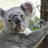 Koala reiste am Kühlergrill mit