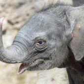 Zürcher Elefantenbaby heißt Omysha