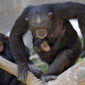 Das ist wahre Affenliebe