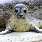 Seehundbaby nach Jogi Löw benannt