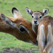 Nachwuchs bei den Litschi-Moorantilopen