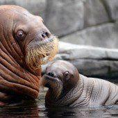 Deutschlands erstes Walrossbaby geboren