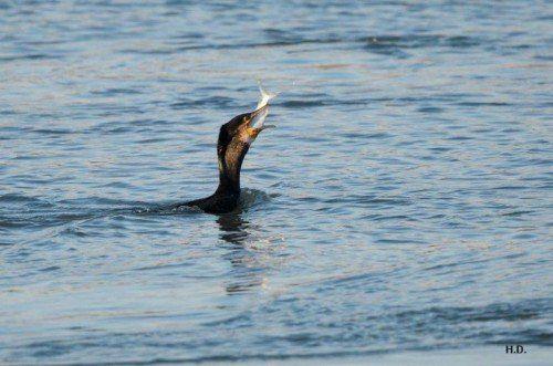 150 Tonnen Fisch fressen laut Fischereistudie die Kormorane jährlich am Bodensee. Hollenstein