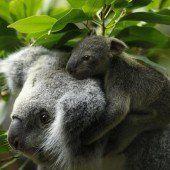 Koala-Baby auf dem Rücken der Mutter