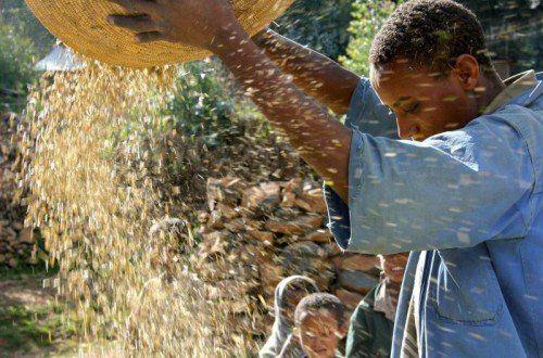 Der Bauer Eshete Eneyew drischt Mais im Norden von Addis Abeba. Gutes Saatgut ist die halbe Ernte.  Foto: Reuters.