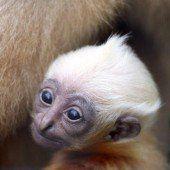 Süßer Gibbon-Nachwuchs