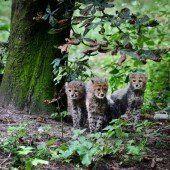 Süßer Geparden-Nachwuchs