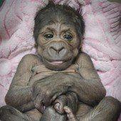 Süßer Gorilla-Nachwuchs