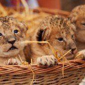 Süßer Löwen-Nachwuchs
