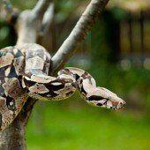 Warum Schlangen nicht vom Baum abrutschen