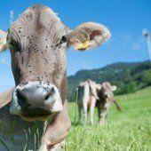 Entstellte Kühe durch Enthornung