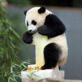 Bao Bao feiert ihren ersten Geburtstag