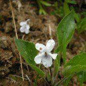 Neue Pflanzen im Ländle entdeckt