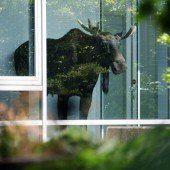 Junger Elch verirrt sich in Dresdner Bürohaus