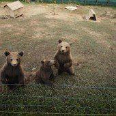Neugierige Bären-Babys
