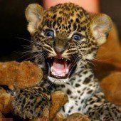 Süßer Leoparden-Nachwuchs