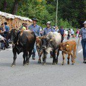 Rund 170 Stück Vieh beim Alpabtrieb in Dornbirn