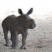 Neugieriges kleines Nashorn
