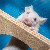 Katze, Ratte und Maus
