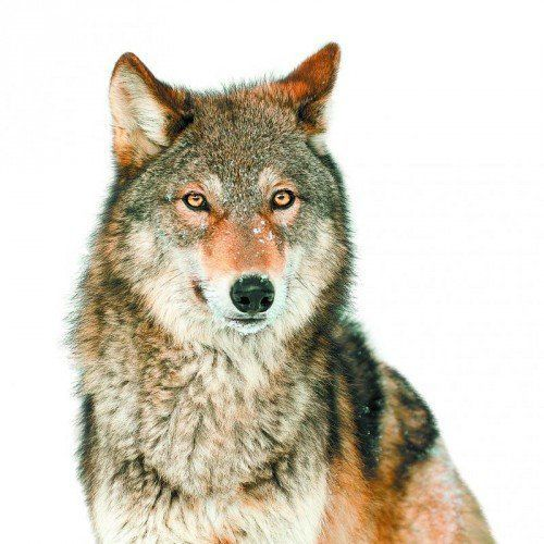 Grey Wolf (Canis lupus) with One Ear Back - captive animal