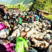 Schafe so weit das Auge reicht. Die Schafscheid war auch für die Zuschauer eine attraktive Angelegenheit.