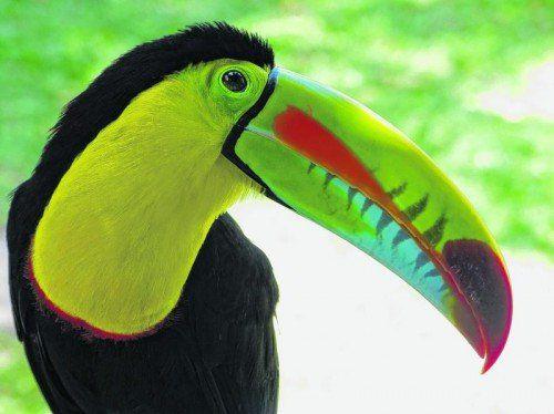 Tukane leben meistens in hohen Baumkronen. Mit etwas Glück entdeckt man den bunten Vogel bei einer Seilbahnfahrt im Gamboa Rainforest.