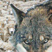DNA-Test bestätigt: Am Sonnenkopf biss der Wolf zu