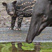 Süßer Tapir-Nachwuchs