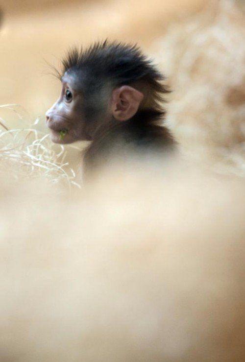 """ABD0074_20141024 - Das sechs Wochen alte Drill-Äffchen """"Oneto"""" läuft am 24.10.2014 im Innengehege des Tierparks Hellabrunn (Bayern) und bestaunt seine Umgebung. Der Drill ist eine der am stärksten gefährdeten Affenarten Afrikas. Foto: Andreas Weihmayr/dpa +++(c) dpa - Bildfunk+++"""