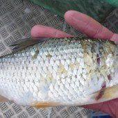 Es gibt keine Fische frei von Quecksilber