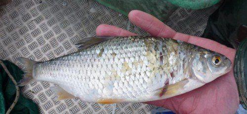 Bodenseefische sind laut Experten unbedenklich.  Foto: VN