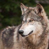 Wenn Wölfe Scheu verlieren