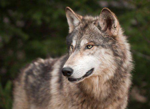 Wölfe gewöhnen sich schnell an Menschen.