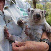 Süßer Wombat-Nachwuchs