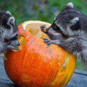 Festschmaus für die Waschbären im Zoo in Hannover