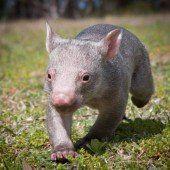 Baby-Wombat auf Erkundungstour