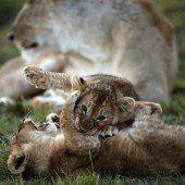 Verspielte Löwenbabys