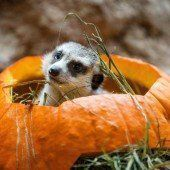 Vorgezogenes Halloween